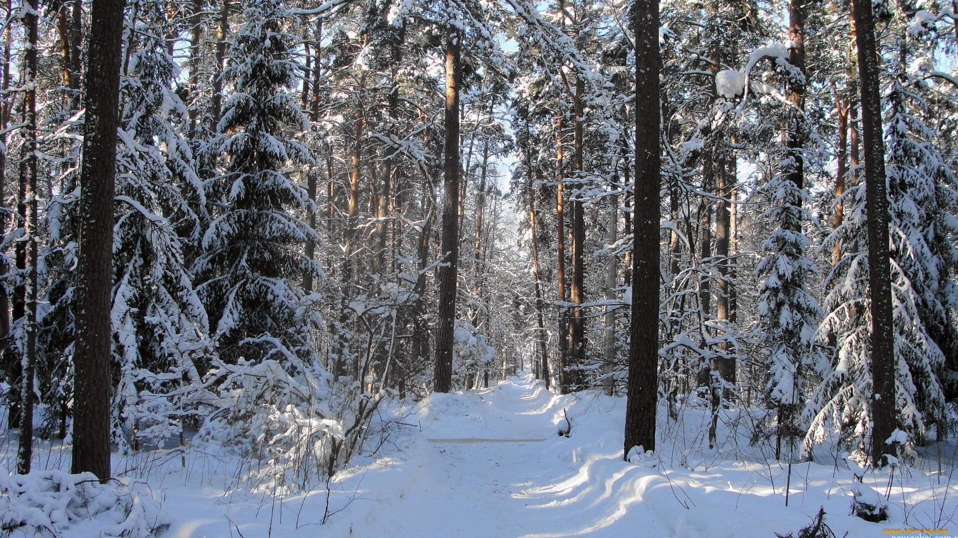картинки зимний снежный коми лес собираются все